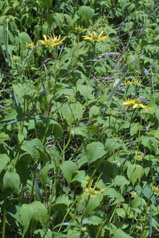 Image http://bioimages.vanderbilt.edu/lq/baskauf/wrula3-wp28792.jpg