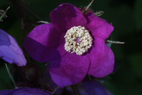 Image http://bioimages.vanderbilt.edu/lq/baskauf/wruod--flcloseup11630.jpg