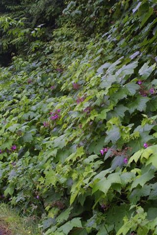 Image http://bioimages.vanderbilt.edu/lq/baskauf/wruod--wp37059.jpg