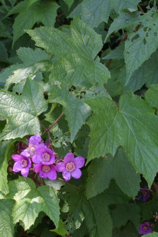 Image http://bioimages.vanderbilt.edu/lq/baskauf/wruod--wpin-flower11631.jpg