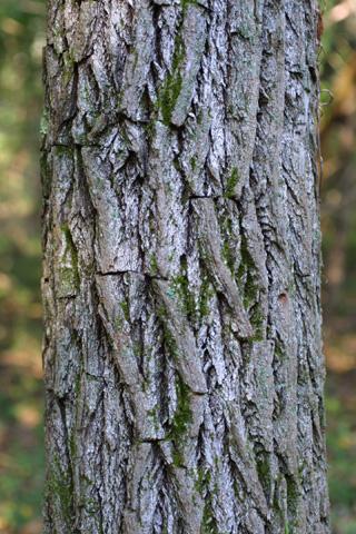 Image http://bioimages.vanderbilt.edu/lq/baskauf/wsaal5-brmedium15549.jpg