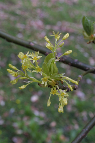 Image http://bioimages.vanderbilt.edu/lq/baskauf/wsaal5-fl10539.jpg