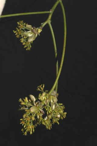 Image http://bioimages.vanderbilt.edu/lq/baskauf/wsaal5-flfemale-inflor50978.jpg