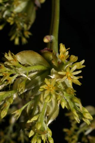 Image http://bioimages.vanderbilt.edu/lq/baskauf/wsaal5-flfemale50973.jpg