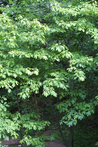 Image http://bioimages.vanderbilt.edu/lq/baskauf/wsaal5-wpsmall11322.jpg