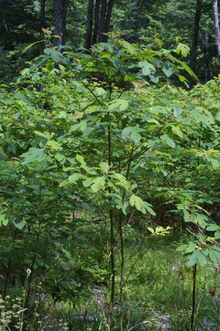 Image http://bioimages.vanderbilt.edu/lq/baskauf/wsaal5-wpsmall11722.jpg