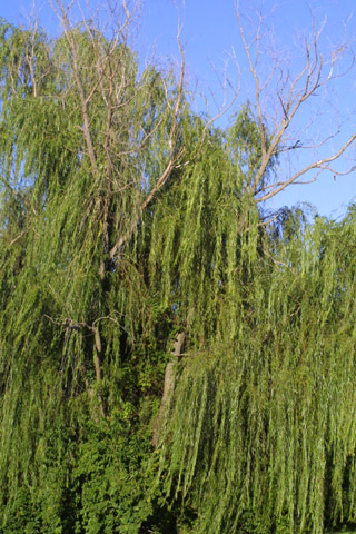 Image http://bioimages.vanderbilt.edu/lq/baskauf/wsaba2-wp29621.jpg
