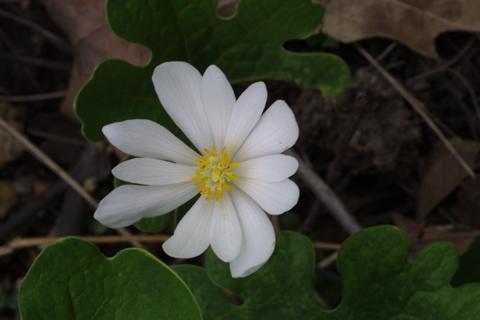 Image http://bioimages.vanderbilt.edu/lq/baskauf/wsaca13flfront18624.jpg