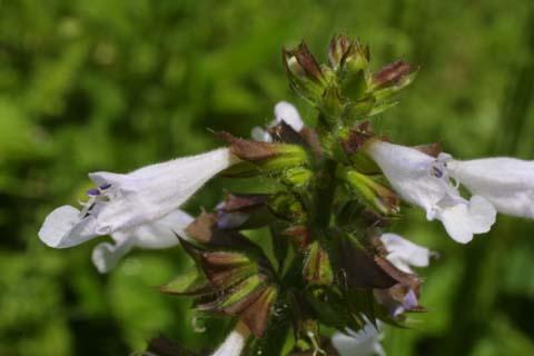 Image http://bioimages.vanderbilt.edu/lq/baskauf/wsaly2-fl23270.jpg