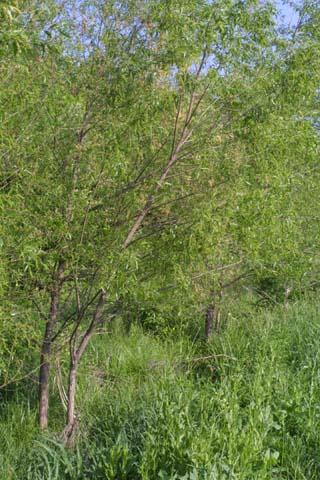 Image http://bioimages.vanderbilt.edu/lq/baskauf/wsani--wp23002.jpg
