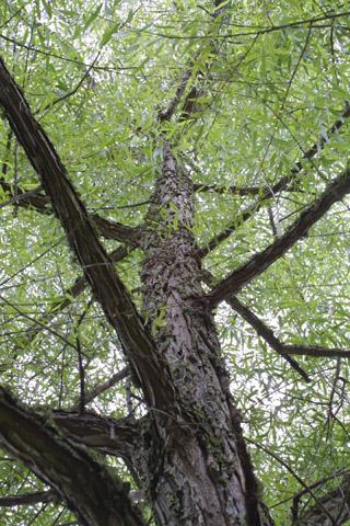 Image http://bioimages.vanderbilt.edu/lq/baskauf/wsani--wplookup13594.jpg