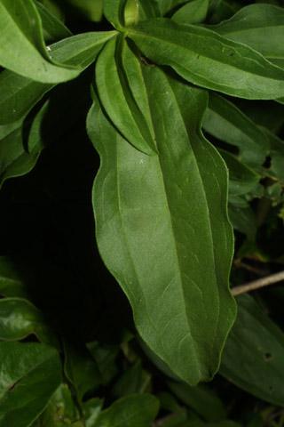 Image http://bioimages.vanderbilt.edu/lq/baskauf/wsaof4-lf35808.jpg