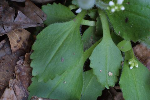 Image http://bioimages.vanderbilt.edu/lq/baskauf/wsavi5-lf18307.jpg