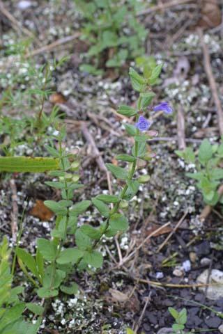 Image http://bioimages.vanderbilt.edu/lq/baskauf/wscpa7-wp25094.jpg
