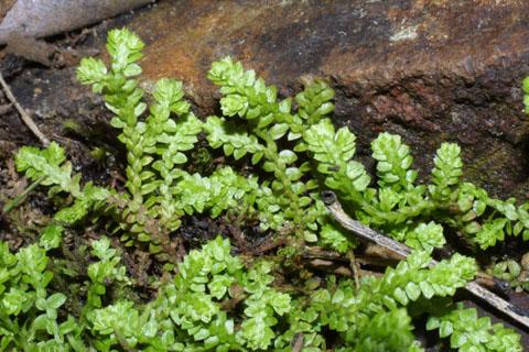 Image http://bioimages.vanderbilt.edu/lq/baskauf/wseap--st39660.jpg