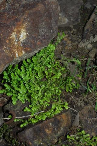 Image http://bioimages.vanderbilt.edu/lq/baskauf/wseap--wpdistant39667.jpg