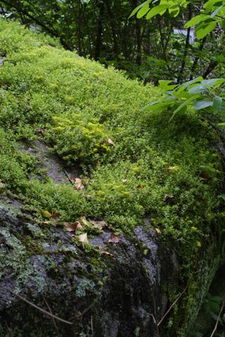 Image http://bioimages.vanderbilt.edu/lq/baskauf/wsesa--wpmass11371.jpg