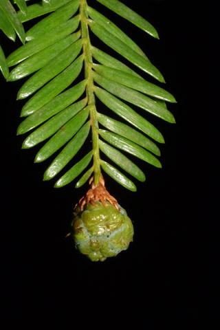 Image http://bioimages.vanderbilt.edu/lq/baskauf/wsese3-cofemale42307.jpg