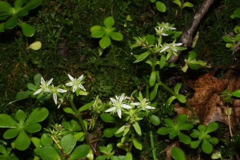 Image http://bioimages.vanderbilt.edu/lq/baskauf/wsete3-wp26396.jpg