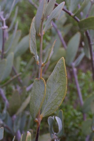 Image http://bioimages.vanderbilt.edu/lq/baskauf/wsich--lfseveral14301.jpg
