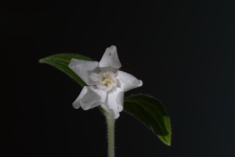 Image http://bioimages.vanderbilt.edu/lq/baskauf/wsilaa3flmale-end16655.jpg