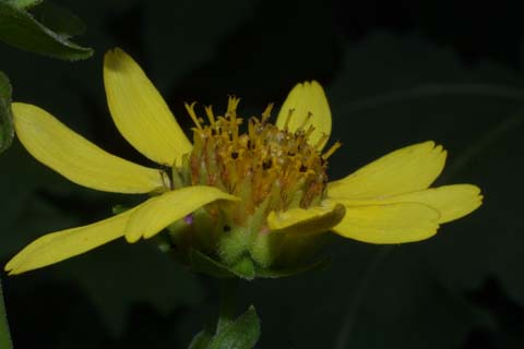 Image http://bioimages.vanderbilt.edu/lq/baskauf/wsmuv--flside28470.jpg