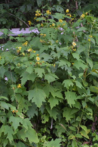 Image http://bioimages.vanderbilt.edu/lq/baskauf/wsmuv--wp28501.jpg