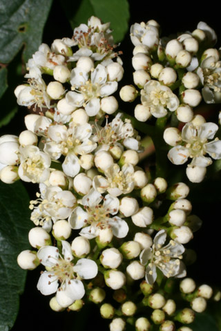 Image http://bioimages.vanderbilt.edu/lq/baskauf/wsoam3-fl49332.jpg