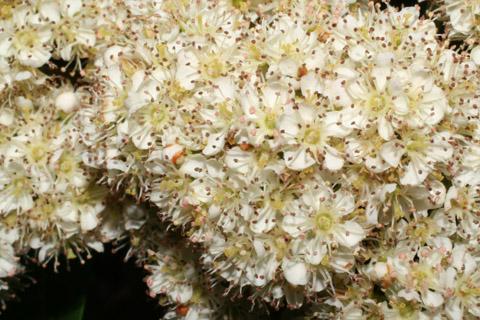 Image http://bioimages.vanderbilt.edu/lq/baskauf/wsoam3-fl49341.jpg