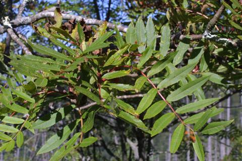 Image http://bioimages.vanderbilt.edu/lq/baskauf/wsoam3-lfseveral15007.jpg