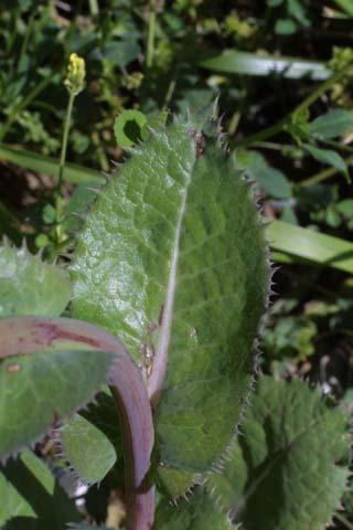 Image http://bioimages.vanderbilt.edu/lq/baskauf/wsoas--lfstem24119.jpg