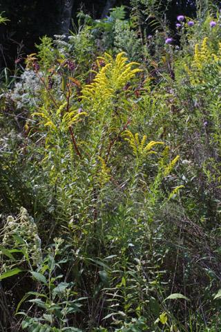 Image http://bioimages.vanderbilt.edu/lq/baskauf/wsoca6-wp29267.jpg