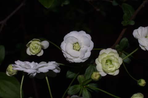 Image http://bioimages.vanderbilt.edu/lq/baskauf/wsppr--flfront31521.jpg