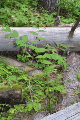 Image http://bioimages.vanderbilt.edu/lq/baskauf/wstam2-wp42504.jpg