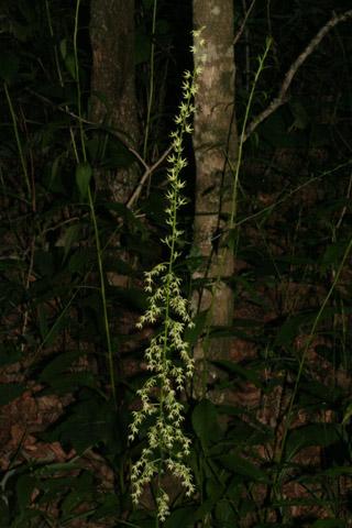 Image http://bioimages.vanderbilt.edu/lq/baskauf/wstgr2-flinflor66575.jpg