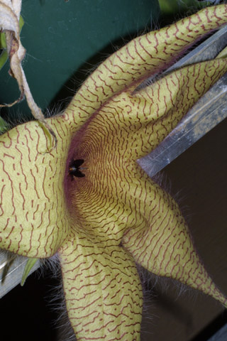 Image http://bioimages.vanderbilt.edu/lq/baskauf/wsthi7-flside38336.jpg