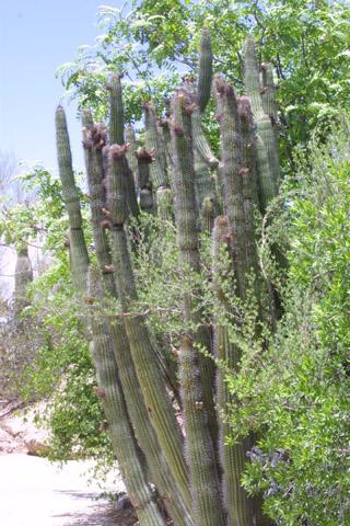 Image http://bioimages.vanderbilt.edu/lq/baskauf/wstth3-wplarge14891.jpg