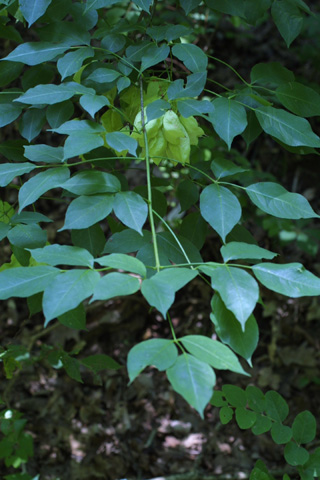 Image http://bioimages.vanderbilt.edu/lq/baskauf/wsttr--wp11999.jpg