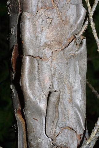 Image http://bioimages.vanderbilt.edu/lq/baskauf/wtabr2-br42589.jpg