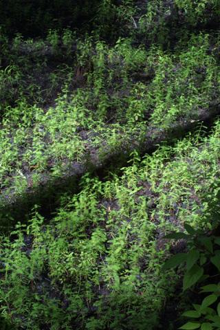 Image http://bioimages.vanderbilt.edu/lq/baskauf/wtadi2-wpgerminating15795.jpg
