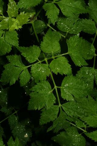 Image http://bioimages.vanderbilt.edu/lq/baskauf/wthba--lf32889.jpg