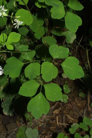 Image http://bioimages.vanderbilt.edu/lq/baskauf/wthcl--lf26378.jpg