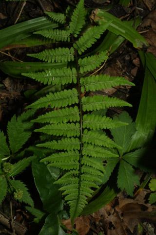 Image http://bioimages.vanderbilt.edu/lq/baskauf/wthpap-lf36103.jpg