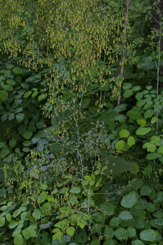 Image http://bioimages.vanderbilt.edu/lq/baskauf/wthre--wp39619.jpg
