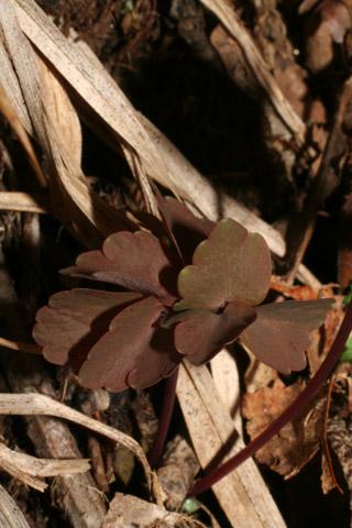 Image http://bioimages.vanderbilt.edu/lq/baskauf/wthth2-lfbasal50548.jpg