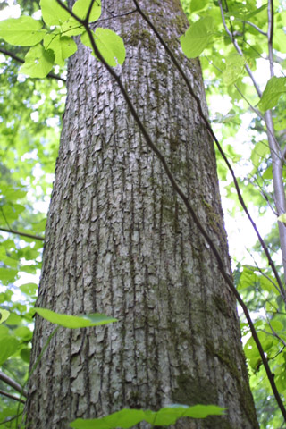 Image http://bioimages.vanderbilt.edu/gq/baskauf/gtiamh-brlarge-tree11463.jpg