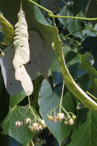 Image http://bioimages.vanderbilt.edu/lq/baskauf/wtiamh-flinflor11744.jpg