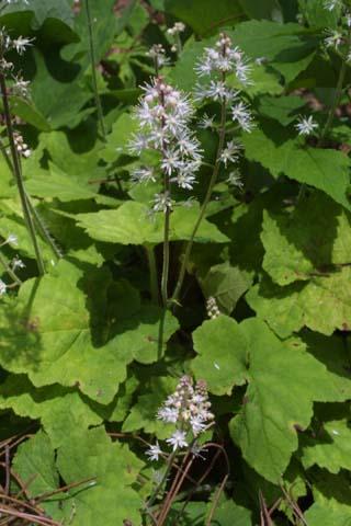 Image http://bioimages.vanderbilt.edu/lq/baskauf/wtico--wp23067.jpg
