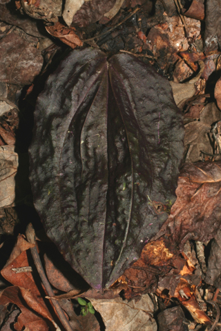 Image http://bioimages.vanderbilt.edu/lq/baskauf/wtidi--lf50575.jpg