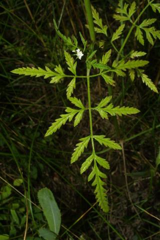 Image http://bioimages.vanderbilt.edu/lq/baskauf/wtoar--lflower27318.jpg